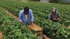 trabajadores agrícolas mexicanos en Canadá